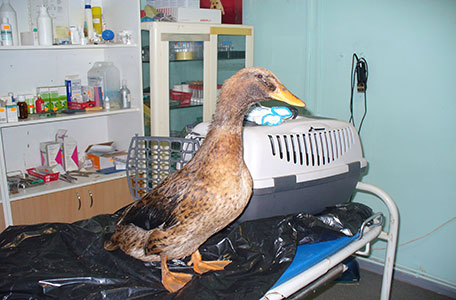Cleaning of birds and animals from oil contamination